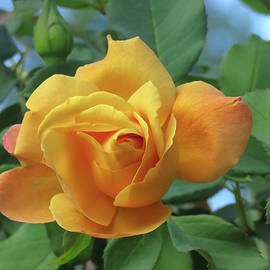 Blushing Yellow Rose - The Perfect Yellow Rose - Floral Photography by Brooks Garten Hauschild