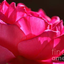 Bold Bright Pink Rose by Joy Watson