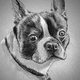 Boston Bull Terrier by Daniel Adams