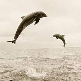 Bottlenose Dolphins Jumping Out Of Water by Stuart Westmorland