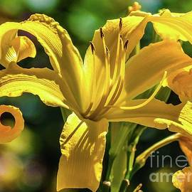 Breathtaking Lily by Cindy Treger