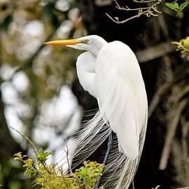 Breeding Great Egret by Mary Ann Artz
