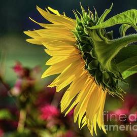 Brilliance Of A Sunflower by Cindy Treger
