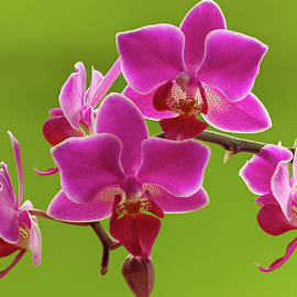Brilliant Pink Orchid by Jean Noren