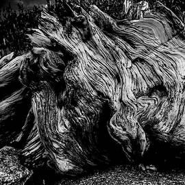 Bristlecone Pine Stump II by Steven Ainsworth