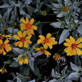 Brittlebush at First Light by Bonnie See