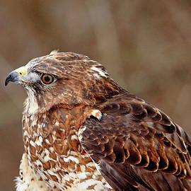 Broad Winged Hawk Profile by Debbie Oppermann