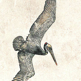 Brown Pelican Dive Photographic Drawing by Dawn Currie