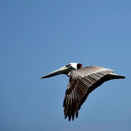 Brown Pelican In Flight  by Chris Mercer
