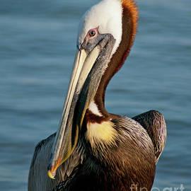 Brown Pelican by Stephen Whalen