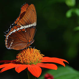 Brown Siproeta Butterfly by Krista Russell