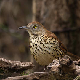 Jerry Owens - Brown Thrasher - 8042