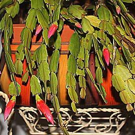 Buds Of A Christmas Cactus by Cynthia Guinn