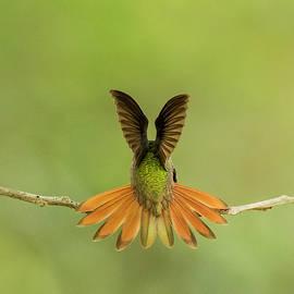 Buff-bellied Hummingbird by Jurgen Lorenzen