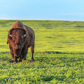 Buffalo At Sunset by Sebastian Musial