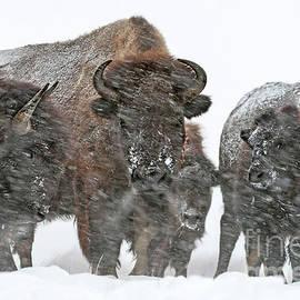 Buffalo - Yellowstone Family Portrait by Wildlife Fine Art