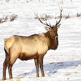 Marta Kazmierska - Bull Elk