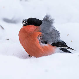 Bullfinch on the snow a very windy day by Torbjorn Swenelius