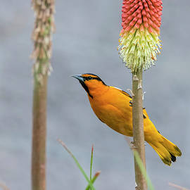 Bullocks Oriole on a Torch Lily by Loree Johnson