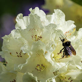 Bumble Bee On Rhododendron by Robert Potts