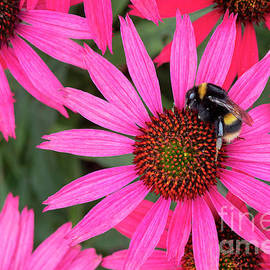 Bumblebee On Echinacea Glowing Dream Flower by Tim Gainey