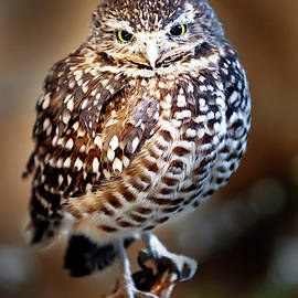 Owl,Bird,Burrowing Owl,Burrowing,Nature,Wildlife,Birds,Owls, by David Millenheft