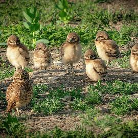 Burrowing Owl Family by Judi Dressler