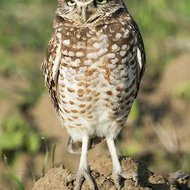 Tran Boelsterli - Burrowing Owl in Farmland