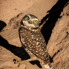 Burrowing Owl by Robert Bales
