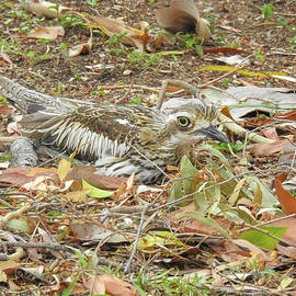 Bush Stone Curlew Blends with the Leaves by Lisa Crawford