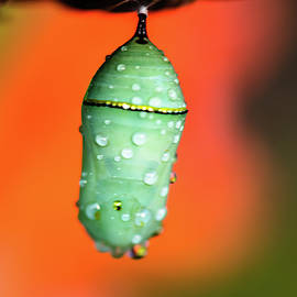 Butterfly Chrysalis by Garrick Besterwitch