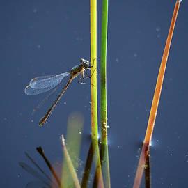 By the pond Emerald damselfly female by Jouko Lehto