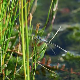 By the pond. Emerald damselfly male by Jouko Lehto