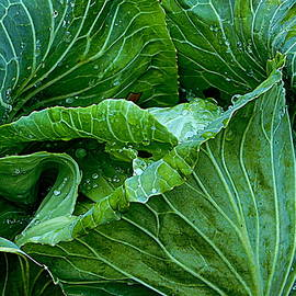 Cabbage Patch - Close Up by Arlane Crump