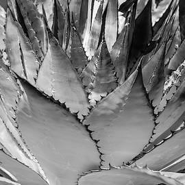 Cactus 3 by Lou Novick