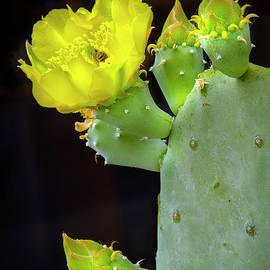Cactus Blooms With Bee II by Harriet Feagin