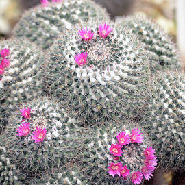 Cactus close up photography. Succulent plant in the botanic garden, photo series 1. by Akos Horvath
