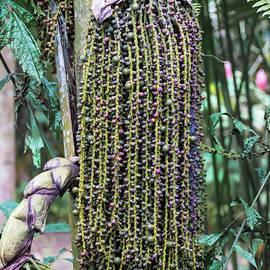Cahuita Foxtail Palm Pod by Norma Brandsberg
