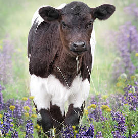 Calf in the Lupine Flowers by Jennie Marie Schell