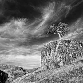 California Oak Tree by Martin Gollery