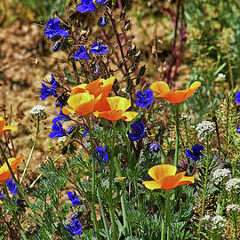 California Poppies and Bluebells 4a  by Linda Brody