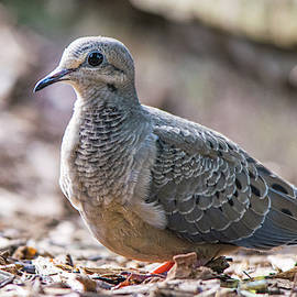 Camouflaged Mourning Dove by Mary Ann Artz