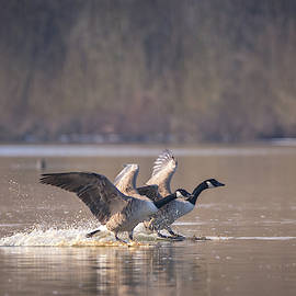 Toby Luxberg - Canada Geese Landing
