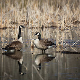 Canada Geese On The Marsh by Jemmy Archer