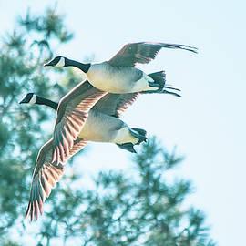 Canada Geese Tandem Flight by Mary Ann Artz