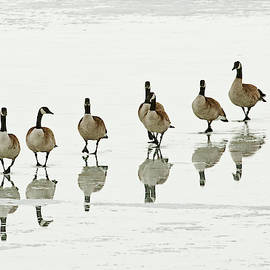 Michael Trewet - Canada Goose 5870     Branta canadensis