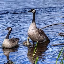 Canada Goose Family by Dana Hardy