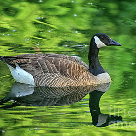 Karen Adams - Canada Goose Floating in Green