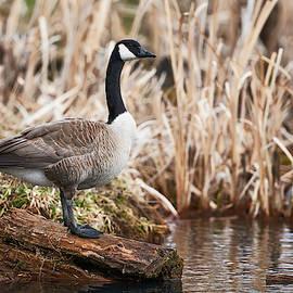 Canada Goose-Log Perch by Jestephotography Ltd