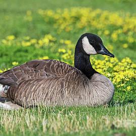 Canada Goose by Nina Stavlund